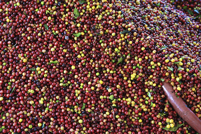 Coffee berries get ready to be processed