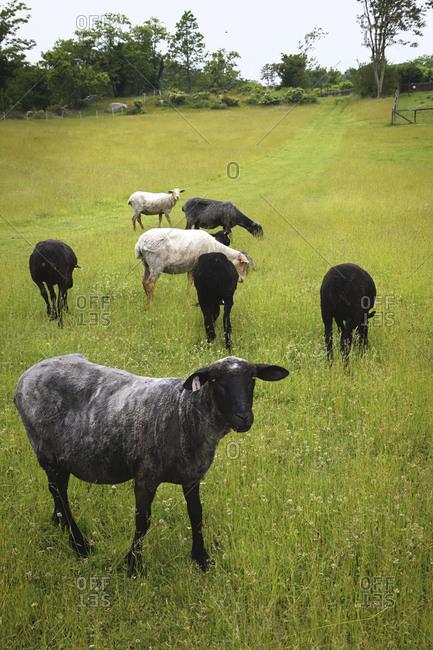 Flock of sheared sheep