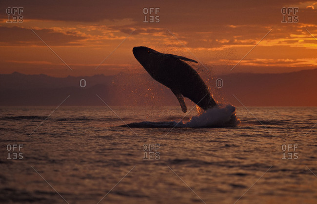 A Humpback Whale breaching out of the ocean at sunset.