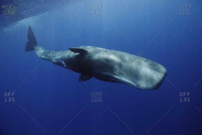 Underwater photo of a large Sperm Whale just under the surface