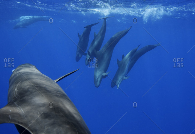 False Killer Whales (Pseudorca crassidens), and Bottlenose Dolphin (Tursiops truncatus) at lower right