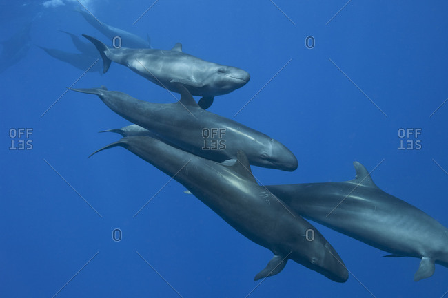 Group of False Killer Whales (Pseudorca crassidens) swimming together in open ocean tropical blue sea