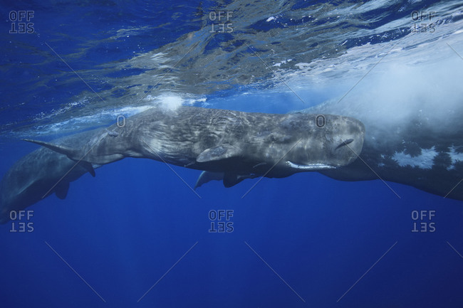 A young calf in between two adult whales