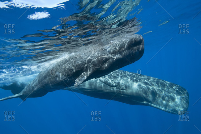 Two Sperm Whales swimming together near the surface in tropical blue water