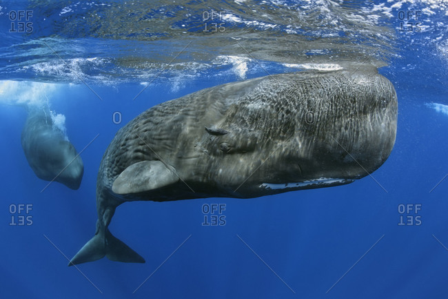 Sperm Whales , close-up underwater view of a calf
