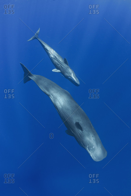 Sperm Whales , mother and calf swimming together, diving down into the deep blue