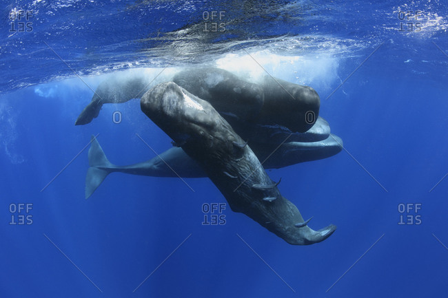Group of sperm whales interacting with each other, remoras on the juvenile whale in front.