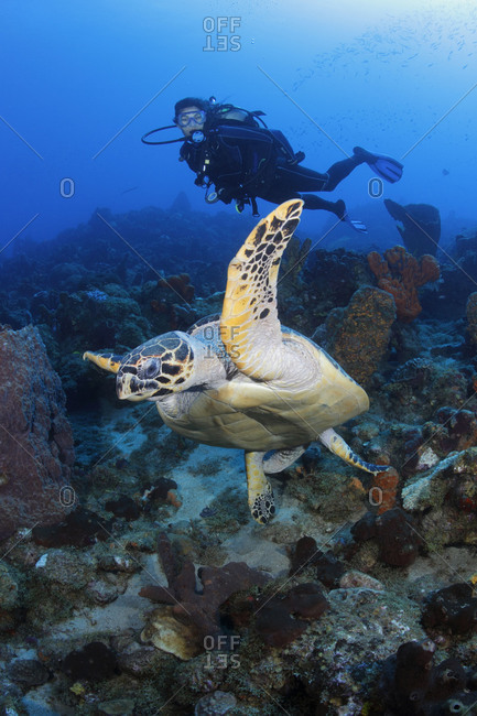 A Hawksbill Sea Turtle swims in front of a female scuba diver in the Caribbean.