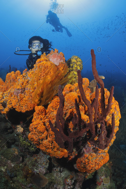 Scuba divers enjoying their exploration of a Caribbean reef overgrown with colorful sponges- Orange Elephant Ear Sponge (Agelas clathrodes), Erect Rope Sponge (Amphimedon compressa), and Golden Crinoids (Davidaster rubiginosa).