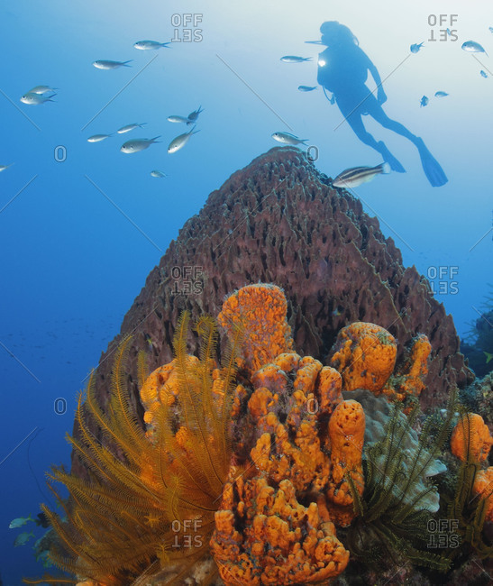 A scuba diver  swims over healthy coral reef with Orange Elephant Ear Sponge (Agelas clathrodes), Golden Crinoids (Davidaster rubiginosa) and a Giant Barrel Sponge (Xestospongia muta). Caribbean Sea.