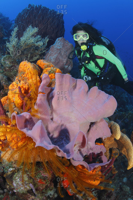 Scuba diver  explores the coral reef, looking at Pink Vase Sponge, Orange Elephant Ear Sponge, Brown Tube Sponge, Erect Rope Sponge (Amphimedon compressa), and Golden Crinoids (Davidaster rubiginosa)