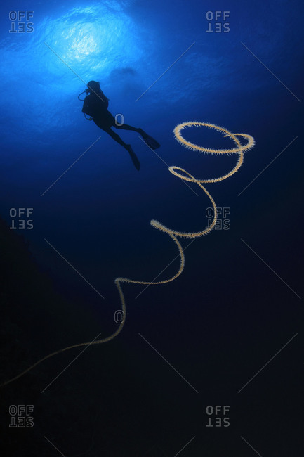 Wire Coral (Cirrhipathes leutkeni), and scuba diver  in blue tropical ocean water, deep beneath the Caribbean Sea