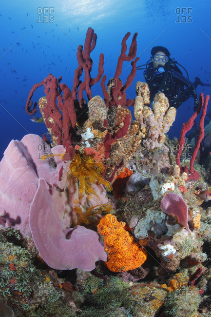 Female scuba diver  admires rich invertebrate growth: Pink Vase Sponge (Niphates digitalis), Orange Elephant Ear Sponge (Agelas clathrodes), Erect Rope Sponge (Amphimedon compressa), and Golden Crinoids (Davidaster rubiginosa). Caribbean Sea.