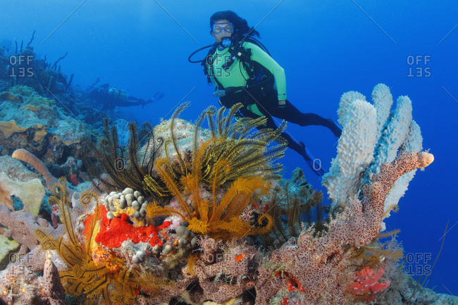 Scuba diver  admires rich invertebrate growth: Golden Crinoids (Davidaster rubiginosa) and various sponge species. Caribbean Ocean region