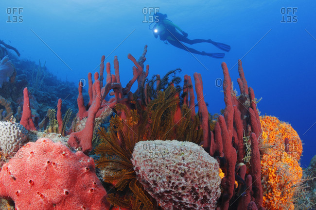 Scuba diver  swims over colorful reef with rich invertebrate growth: red Erect Rope Sponge (Amphimedon compressa) behind center, Orange Elephant Ear Sponge (Agelas clathrodes) right, Golden Crinoids (Davidaster rubiginosa) center middle, and other sponge species front and left. Caribbean Sea.