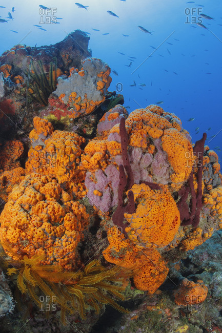 Rich invertebrate growth: Orange Elephant Ear Sponge (Agelas clathrodes), Pink Vase Sponge (Niphates digitalis), red Erect Rope Sponge (Amphimedon compressa), and Golden Crinoids (Davidaster rubiginosa). Caribbean Sea