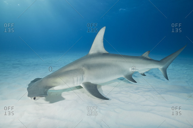 Great Hammerhead Shark (Sphyrna mokarran). A large elusive top predator about which we currently know very little.