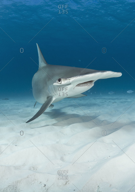 Great Hammerhead Shark (Sphyrna mokarran). The broad head, called a cephalofoil, is thought to help provide lift, similar to an airplane wing. It is also allows the electroreceptive sensory organs to be positioned over a large, wide area, contributing to a remarkable ability to locate prey buried under the sand.