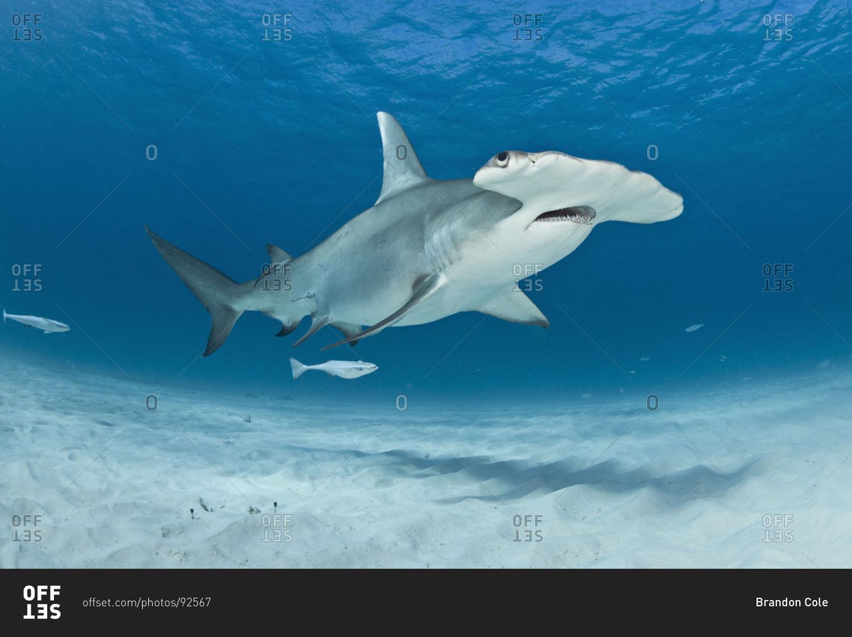great hammerhead shark sphyrna mokarran the largest species in