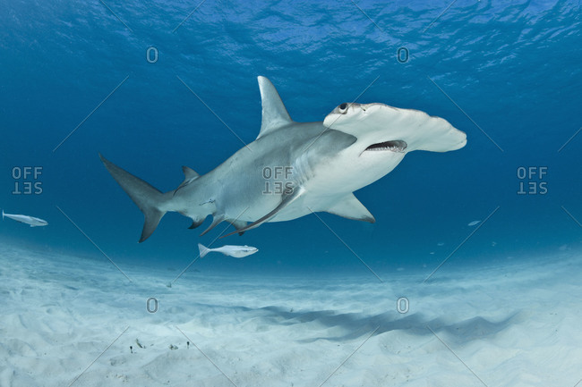Great Hammerhead Shark (Sphyrna mokarran), the largest species in family Sphyrnidae. Populations in some parts of the world are now classified as endangered by the International Union for Conservation of Nature (IUCN) as a result of intensive fishing in some locations for its fins, which are highly valued as an ingredient in shark fin soup popular in Asian markets.