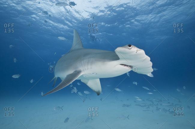 Great Hammerhead Shark (Sphyrna mokarran), 3 meter long female approaching the camera, swimming over a shallow sand bottom