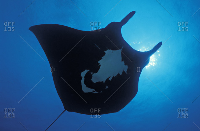 Manta Ray with wingspan up to 20 feet, intelligent and gentle, open Pacific Ocean. Also called Giant Pacific Manta Ray, or Oceanic Manta