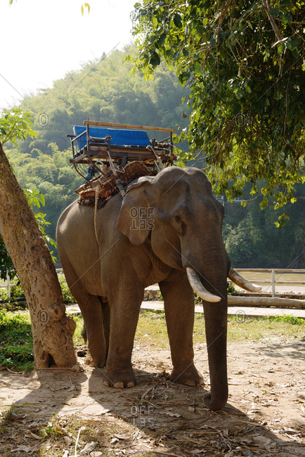 Working elephant in Thailand