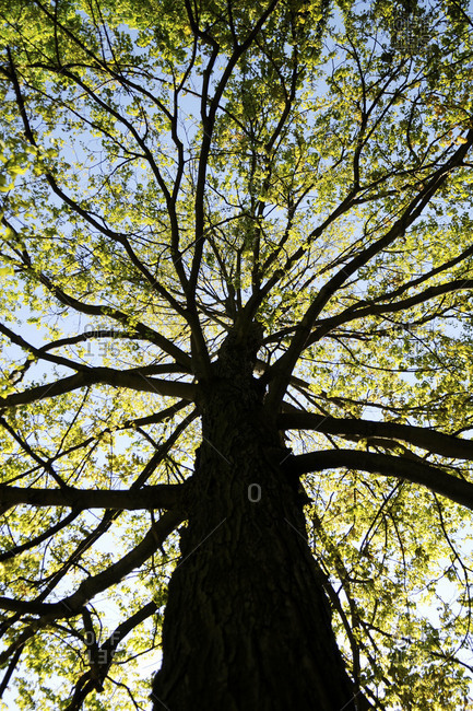 Upwards shot of a tree during the Spring season