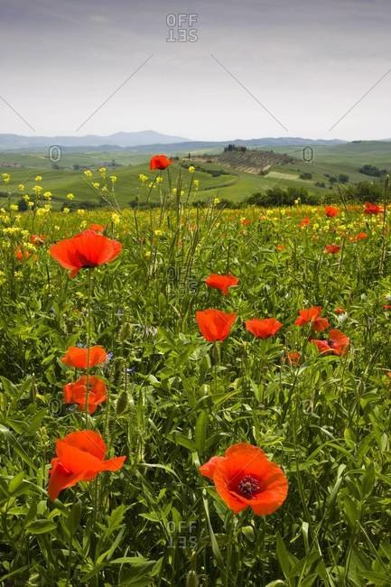 Poppy field and rolling countryside near Pienza, Tuscany, Italy, Europe