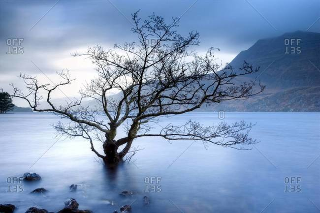 Partially submerged tree in Loch Maree on a stormy day, near Poolewe, Achnasheen, Wester Ross, Highland Scotland