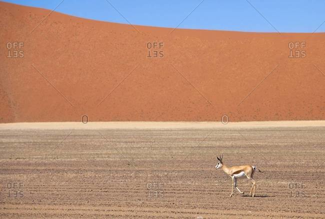Springbok and orange sand dune in the ancient Namib Desert near Sesriem, Namib Naukluft Park, Namibia, Africa