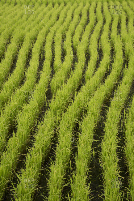 Close-up photo of rows of rice plants in Bali, Indonesia