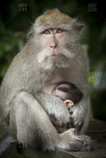 A mother monkey nurses her baby, Bali, Indonesia