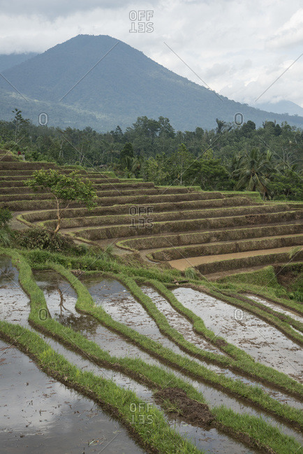Close-up of rows of rice plants in Bali, Indonesia