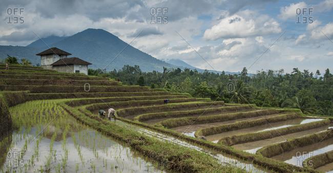 People working in the terraced rice fields below a mountain in Bali, Indonesia