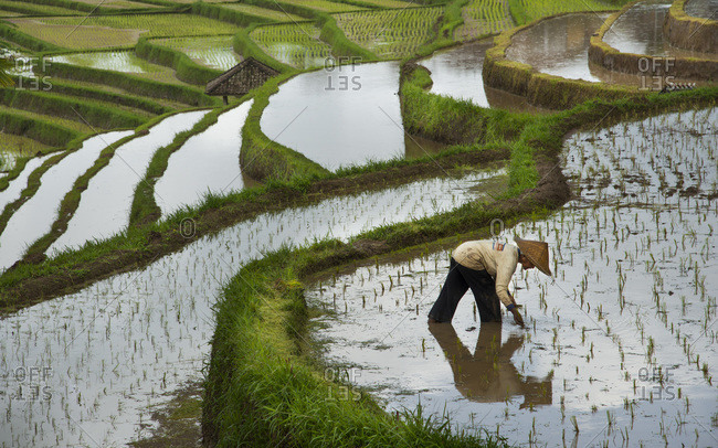 A woman farmer planting rice is reflected in the water of a flooded rice terrace in Jatiluwih, Bali, Indonesia