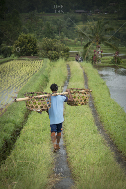 A male farmer walks thought rice fields with large baskets on his shoulder in Jatiluwih, Bali, Indonesia