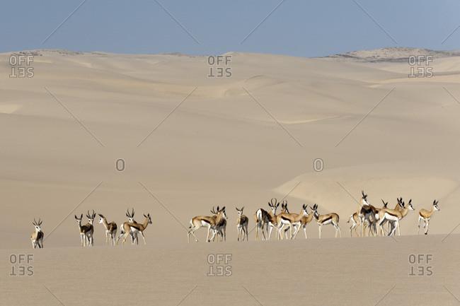 Springbok (Antidorcas marsupialis) on sand dune, Skeleton Coast National Park, Namibia, Africa