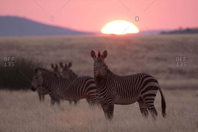 Hartmann's mountain zebra (Equus zebra hartmannae), Palmwag Concession, Damaraland, Namibia, Africa