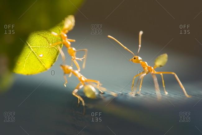 Ants, (Formicidea), Magnetic Island, Queensland, Australia