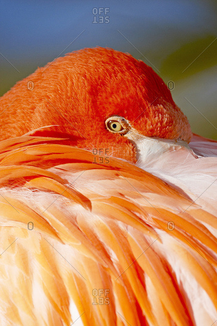 Caribbean flamingo (American flamingo) (Phoenicopterus ruber ruber) with beak nestled in the feathers of its back, Rio Grande Zoo, Albuquerque Biological Park, Albuquerque, New Mexico, United States of America, North America