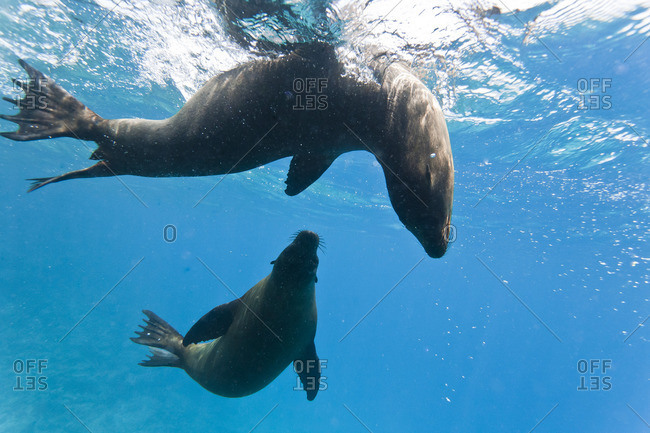 Galapagos sea lions (Zalophus wollebaeki) underwater, Champion Island, Galapagos Islands, Ecuador, South America