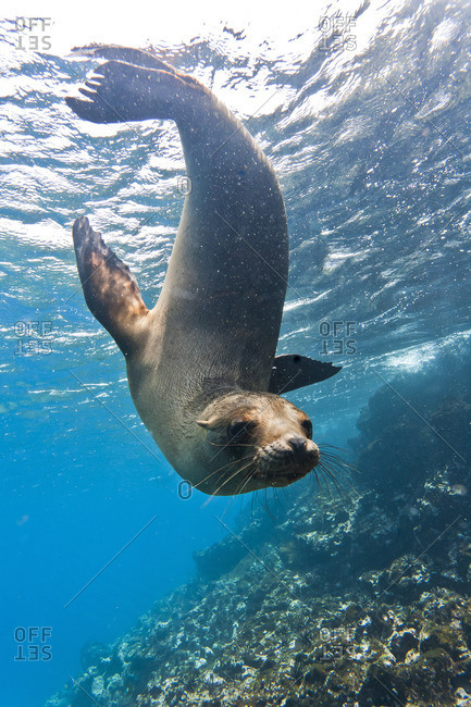 Galapagos sea lion (Zalophus wollebaeki) underwater, Champion Island, Galapagos Islands, Ecuador, South America