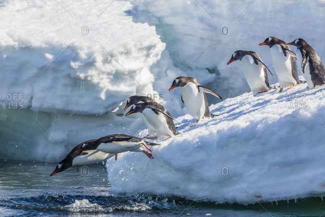 Adult gentoo penguins (Pygoscelis papua) leaping into the sea in Mickelson Harbor, Antarctica, Southern Ocean, Polar Regions