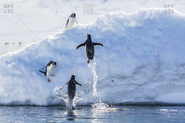 Adult gentoo penguins (Pygoscelis papua) leaping onto ice in Mickelson Harbor, Antarctica, Southern Ocean, Polar Regions