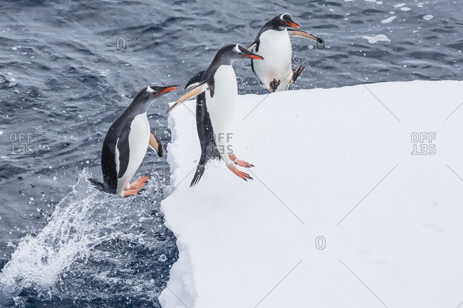 Adult gentoo penguins (Pygoscelis papua) leaping onto ice in the Enterprise Islands, Antarctica, Southern Ocean, Polar Regions