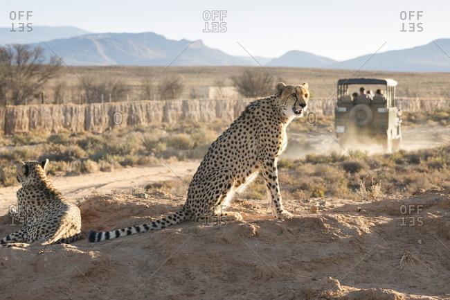 Safari jeep leaving cheetahs (Acinonyx jubatus) on game drive, Inverdoorn Game Reserve, Karoo desert, Ceres, South Africa, Africa