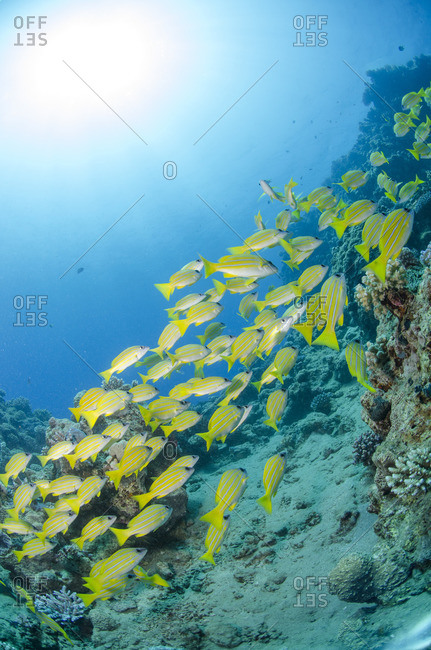 Medium shoal or school of blue striped snapper (Lutjanus kasmira) close to coral reef, Naama Bay, off Sharm el Sheikh, Sinai, Egypt, Red Sea, Egypt, North Africa, Africa