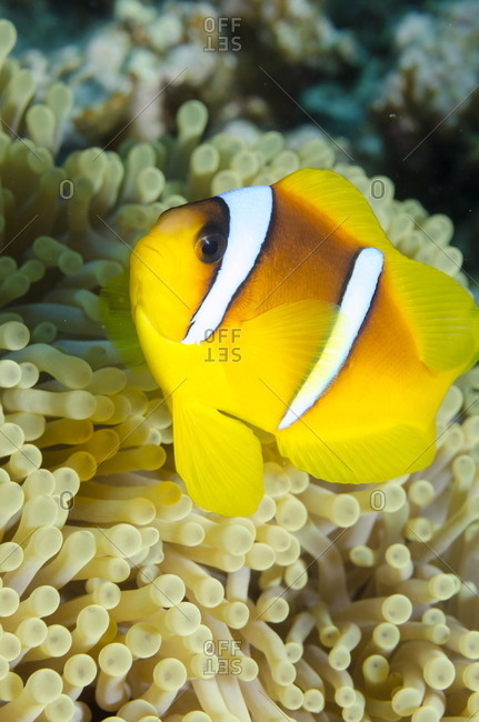 Red sea anemone fish (Amphiprion bicinctus) and magnificent anemone, (Heteractis magnifica), Ras Mohammed National Park, off Sharm el-Sheikh, Sinai, Red Sea, Egypt, North Africa, Africa