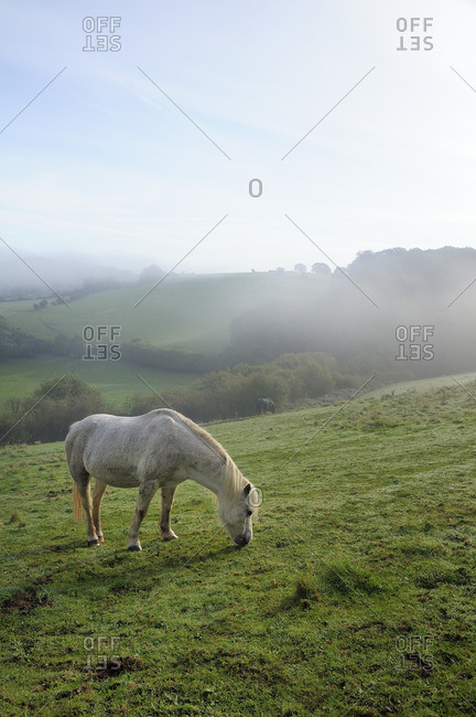 Welsh mountain pony (Equus caballus) grazing a hillside meadow on a foggy autumn morning, Box, Wiltshire, England, United Kingdom